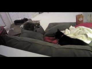 Коты против енота